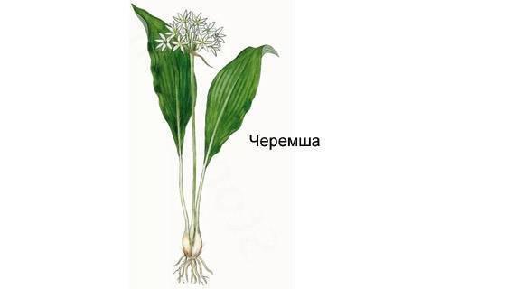 Как вырастить черемшу на даче из семян и луковиц