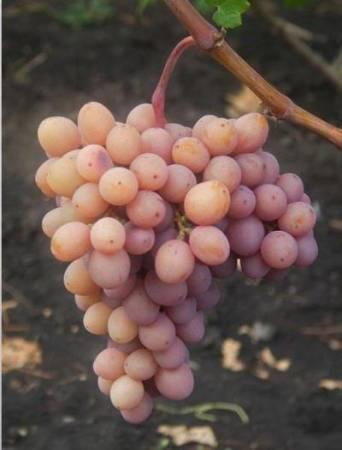 Виноград гурман: описание сорта, советы по посадке и уходу