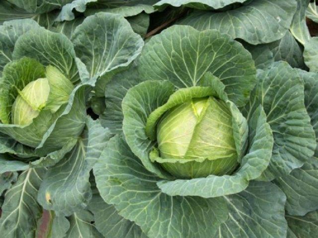 Характеристика капусты сорта Крауткайзер