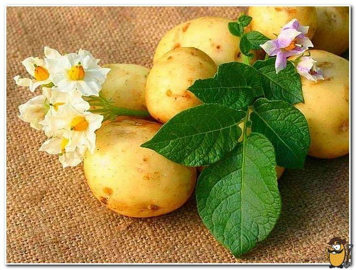 Определение химического состава картофеля - агрономы