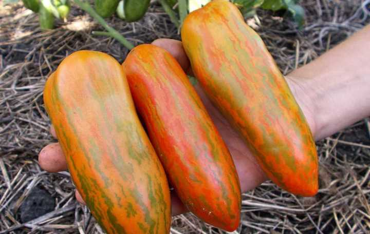 Характеристика и описание томата «перцевидный»