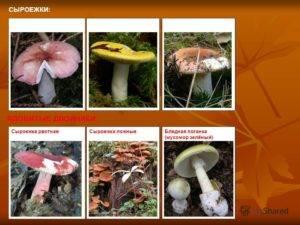 Грибы сыроежки: фото и описание, виды съедобных, когда собирать