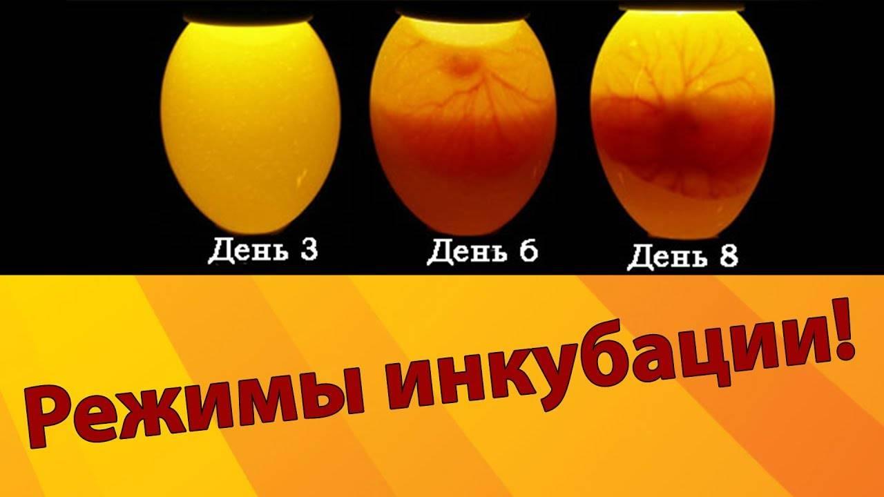 Инкубация индюшиных яиц в инкубаторе — режим и таблица