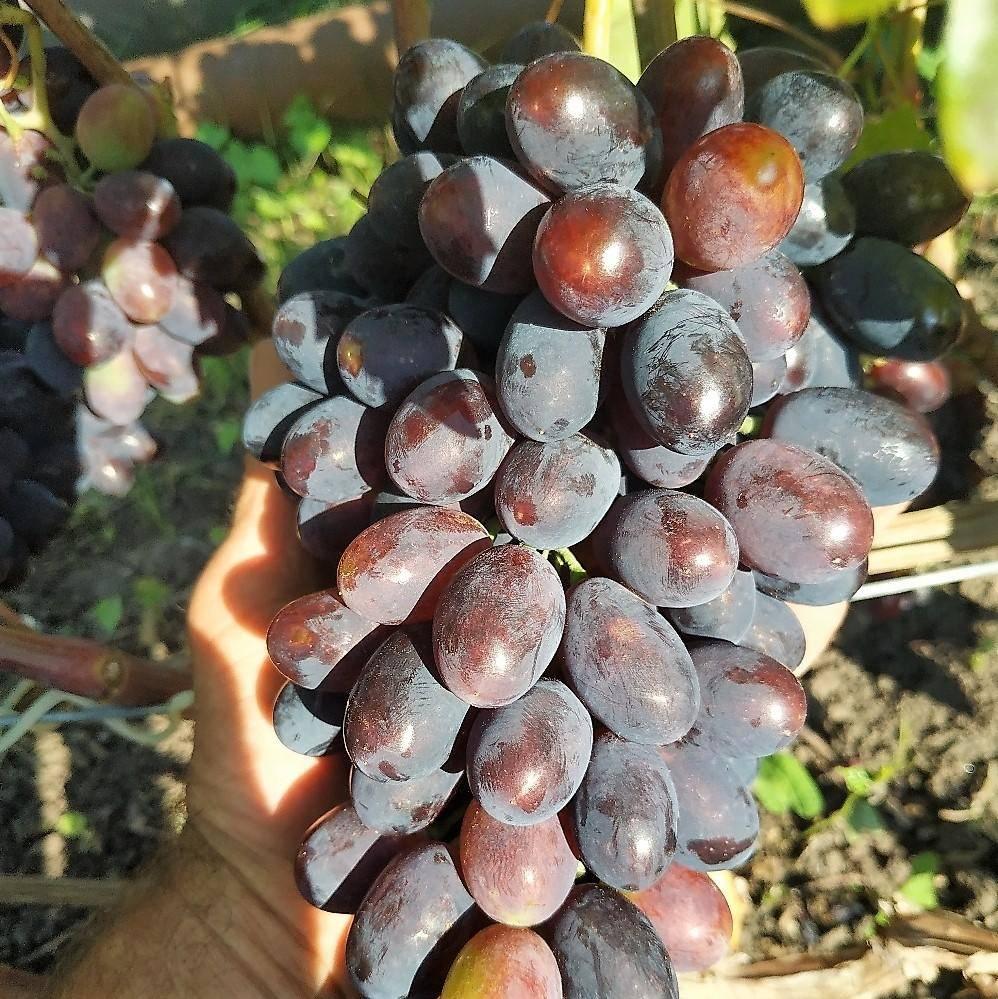Виноград кодрянка: описание сорта, фото, уход