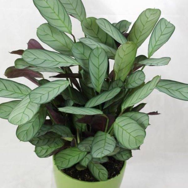Выращивание комнатного цветка ктенанта в домашних условиях, виды с фото и описанием