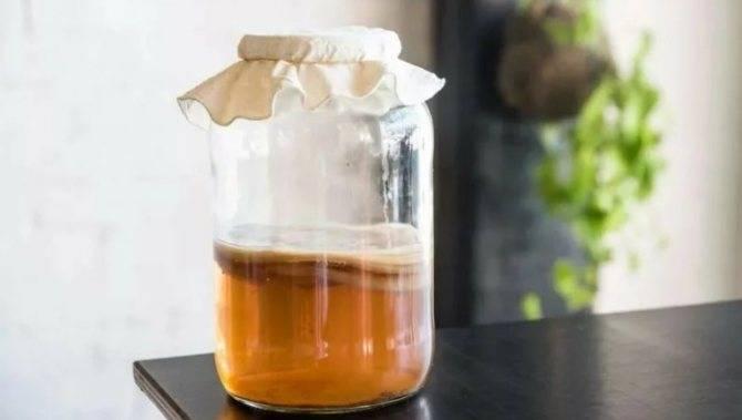 Чайный гриб: как ухаживать, употреблять и заваривать в домашних условиях (+22 фото)