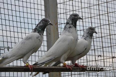 Высоколетные голуби: обзор свердловских и ижевских, венских и сербских, пакистанских и будапештских, венгерских и других разновидностей