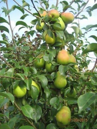 Груша лада: описание сорта и сравнение с чижовской, когда созревают плоды в подмосковье, на какой год начинает плодоносить, какие опылители для них подходят