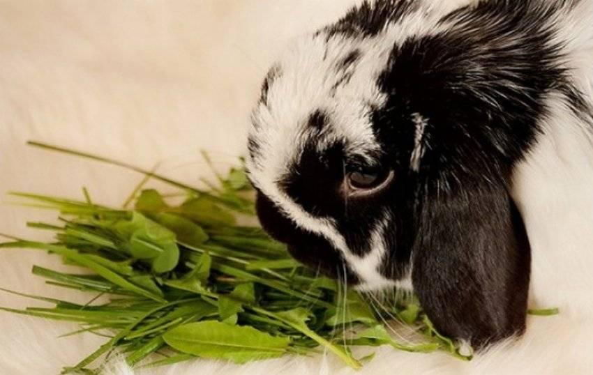 Кролики, рекомендации по кормлению кроликов, состав рациона