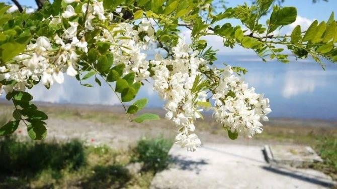 Посадка и выращивание черемухи