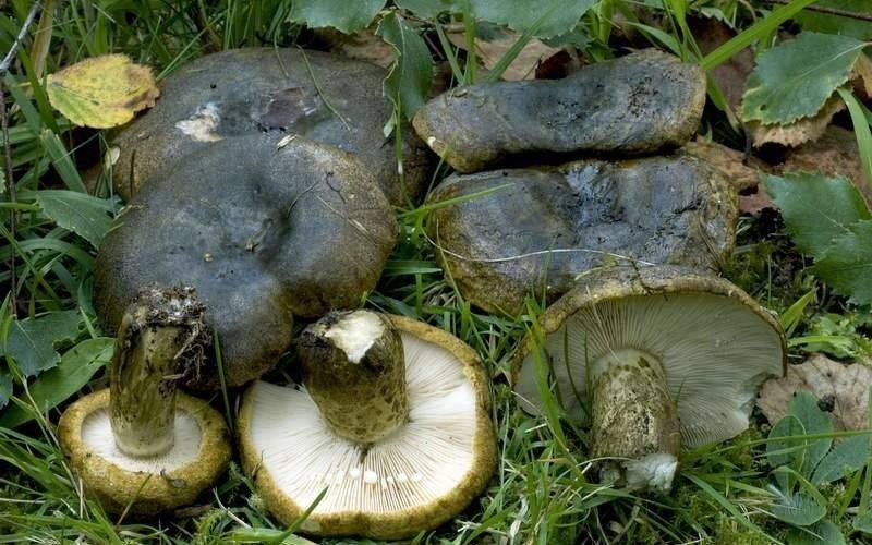 Черный груздь - описание, виды, особенности, кулинарная ценность условно съедобного гриба