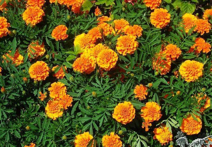 Бархатцы: описание, виды с фото, посадка и уход за цветами