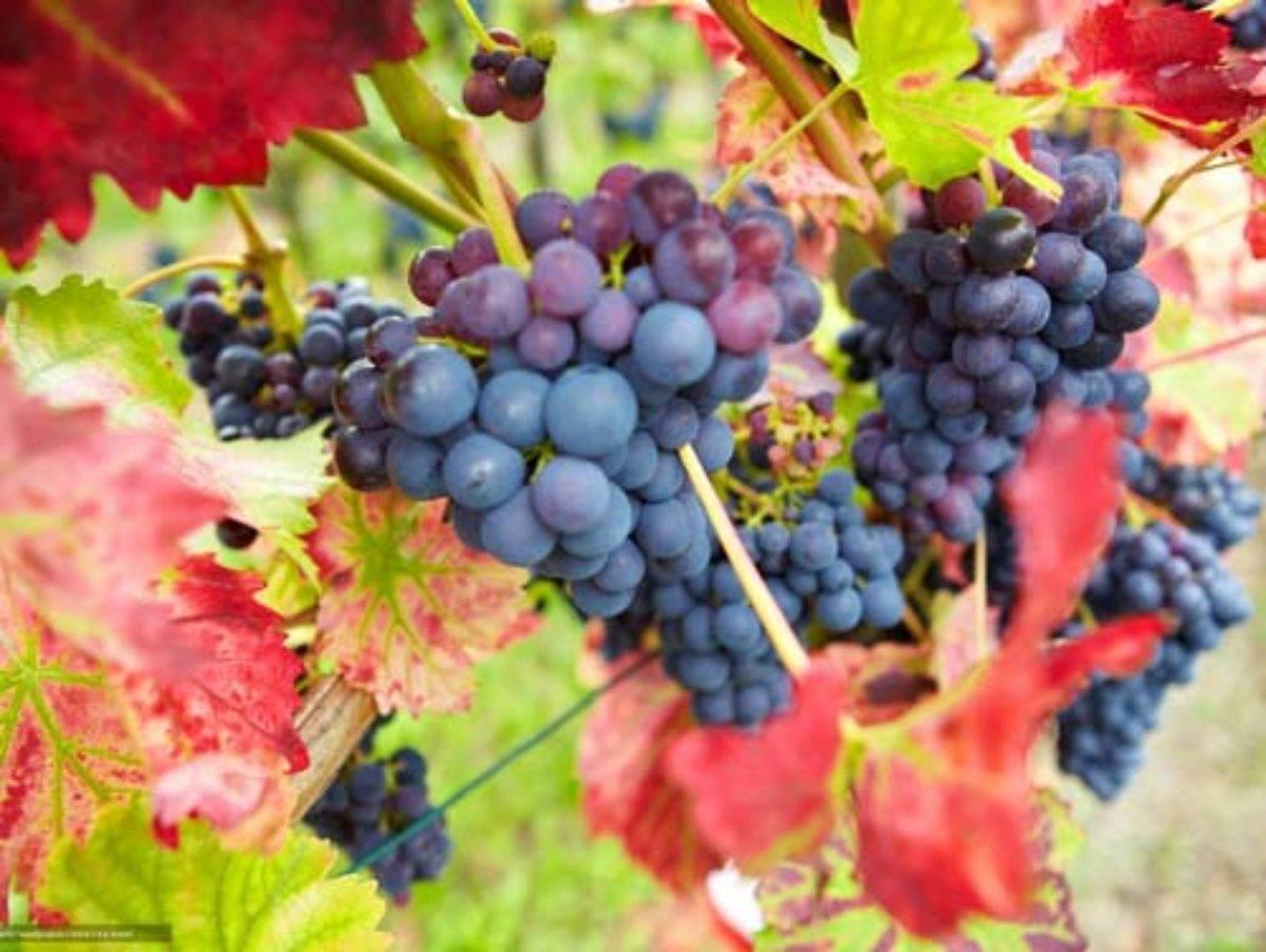 Виноград осенью: как ухаживать, что делать, как подготовить к зиме