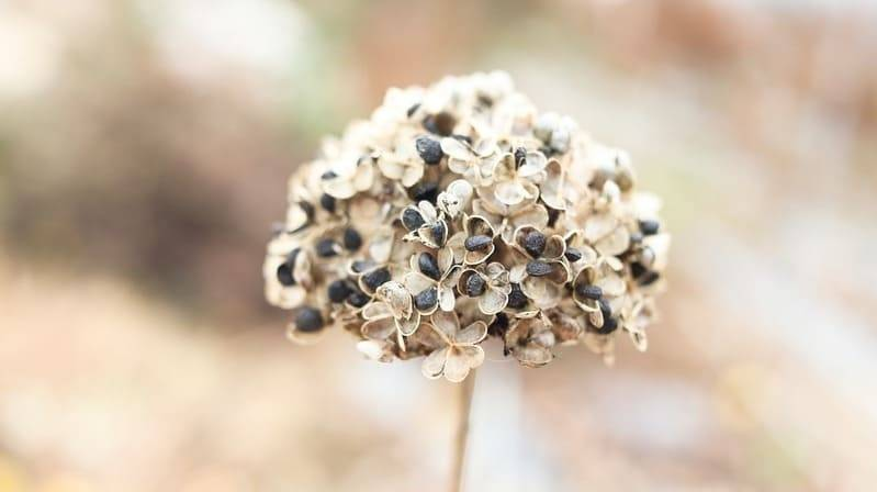 Как вырастить лук-чернушку из семян и когда убирать с грядки