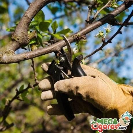Вишня драгоценный кармин фото. вишня драгоценный кармин - изюминка вашего сада