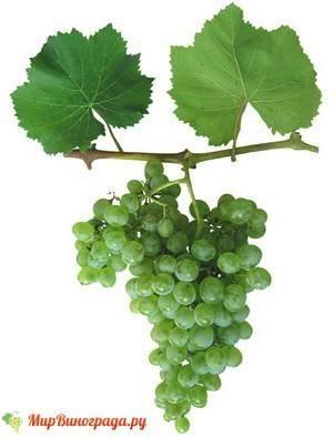 Виноград ранний магарача: описание и характеристики сорта, выращивание и уход