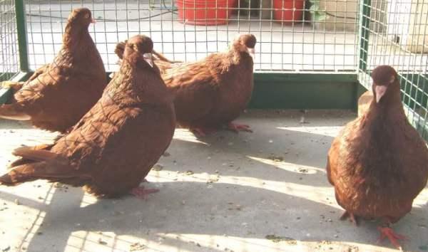 Разведение голубей: выращивание, содержание и уход за породистыми голубями (105 фото и видео)