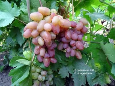 Виноград «юлиан»: описание, посадка, уход, достоинства, недостатки