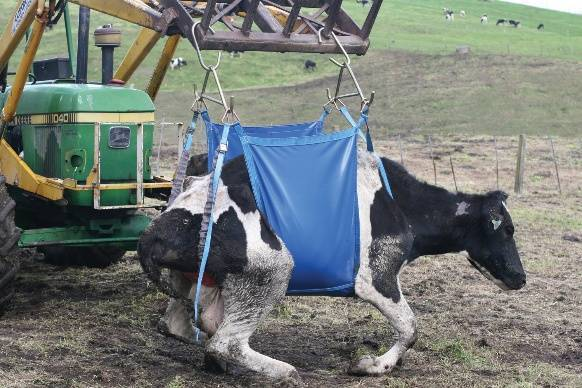 Что делать, чтобы корова не лягалась
