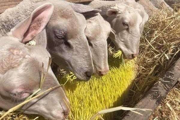 Как правильно кормить овец и баранов в домашних условиях