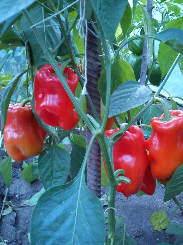 Описание сорта и технология выращивания перцев богатырь