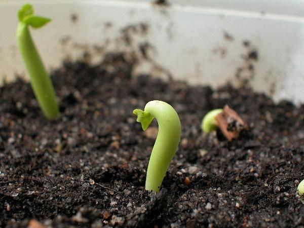 Адениум из семян в домашних условиях для начинающих цветоводов