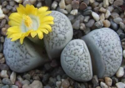 Выращивание литопсов из семян: как вырастить «живые камни» в домашних условиях? как сажать и как выглядят семена?