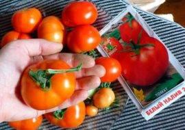 Томат белый налив — 115 фото, описание, характеристики и рекомендации как выращивать правильно старинный сорт помидоров