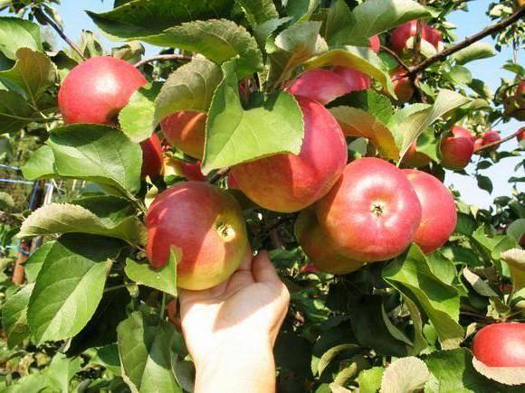 Сортовые особенности яблони услада - мыдачники