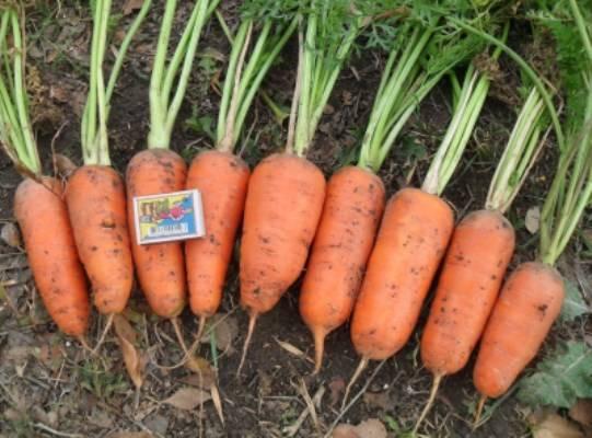 Морковь самсон: характеристика и описание сорта, отзывы, фото