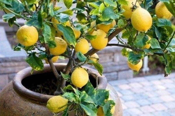 Как избавиться от щитовки на лимоне – доступные и эффективные методы