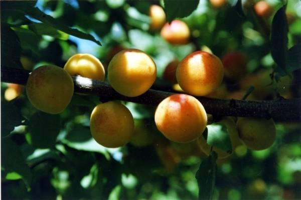 Абрикос царский: отзывы, фото, описание сорта, особенности выращивания, посадки и ухода, опылители, морозостойкость