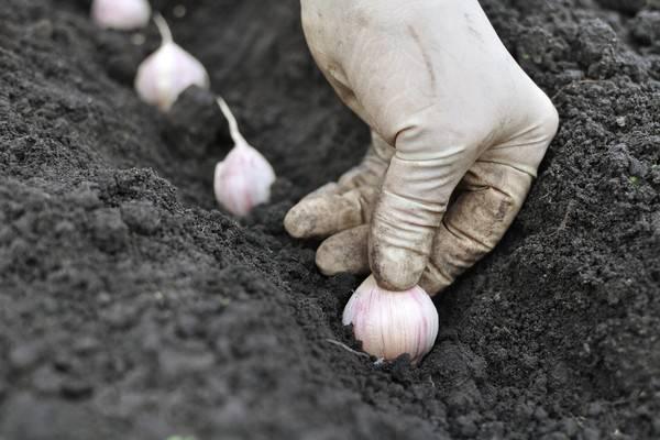 Как подготовить грядку под чеснок для посадки осенью, когда сажать озимый чеснок