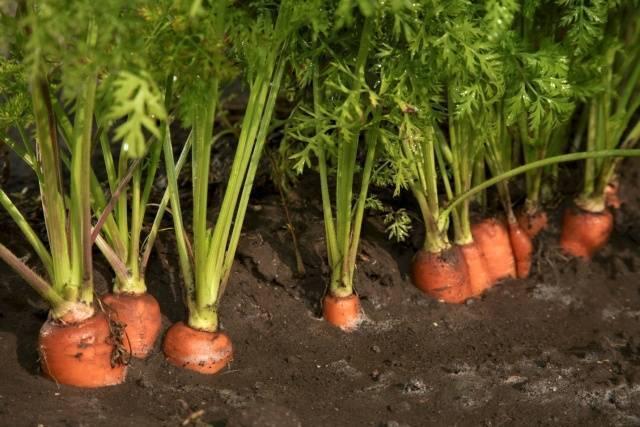 Подкормка моркови при посадке в открытом грунте: навоз, зола, удобрения