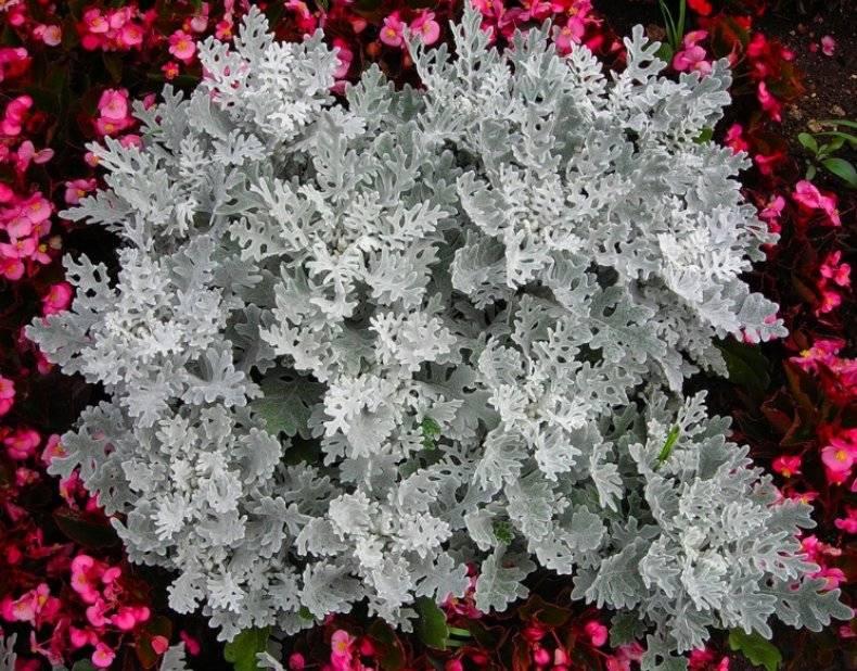 Цинерария: фото, описание, виды, посадка, уход за цветком