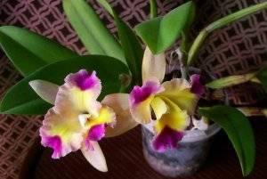 Орхидея каттлея: уход в домашних условиях за тропическим видом растения с роскошными цветками и псевдобульбами