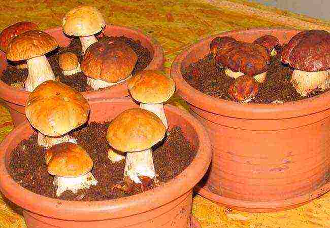 Самый большой гриб в мире, топ 10