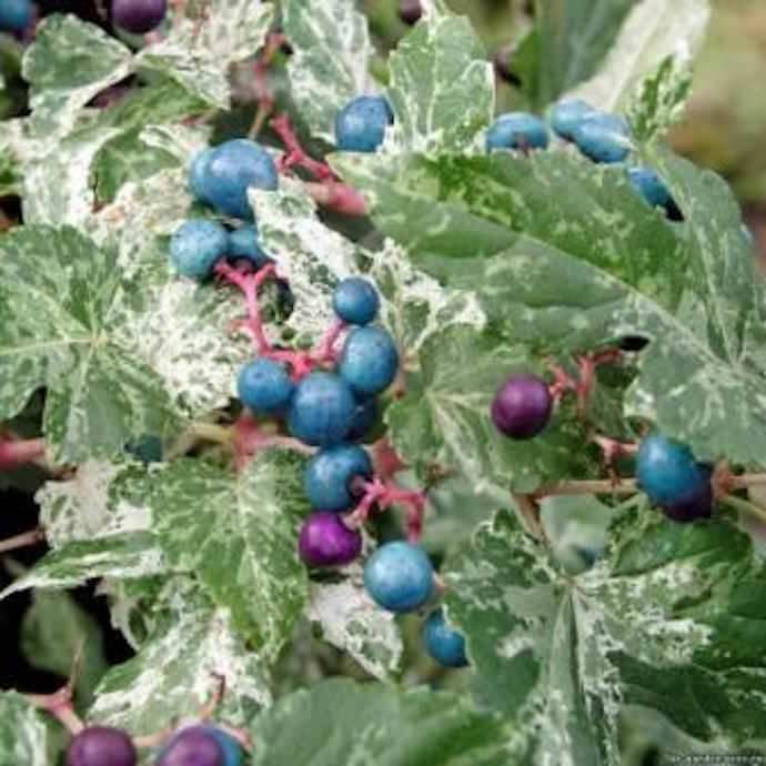 Виноградовник железистый в средней полосе — мой опыт выращивания. особенности зимовки и уход. фото — ботаничка.ru