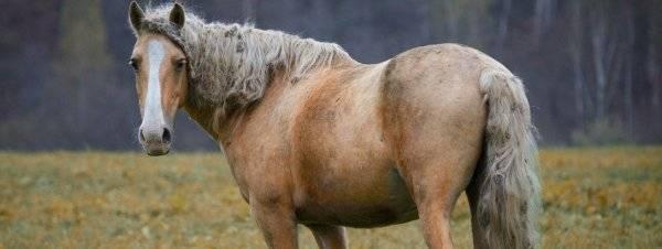 Описание и экстерьер башкирской лошади