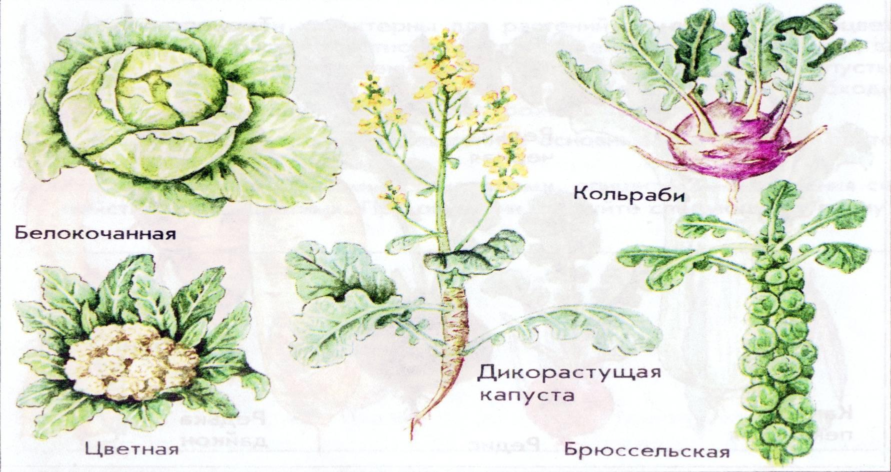 Дикий предок капусты. история капусты | моя стройка