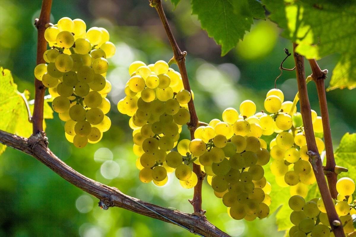 Весенняя обрезка винограда: технология и особенности для регионов