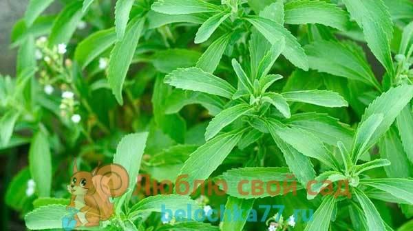 Стевия: выращивание и уход в домашних условиях за стевией, семена для посадки, как вырастить стевию из семян