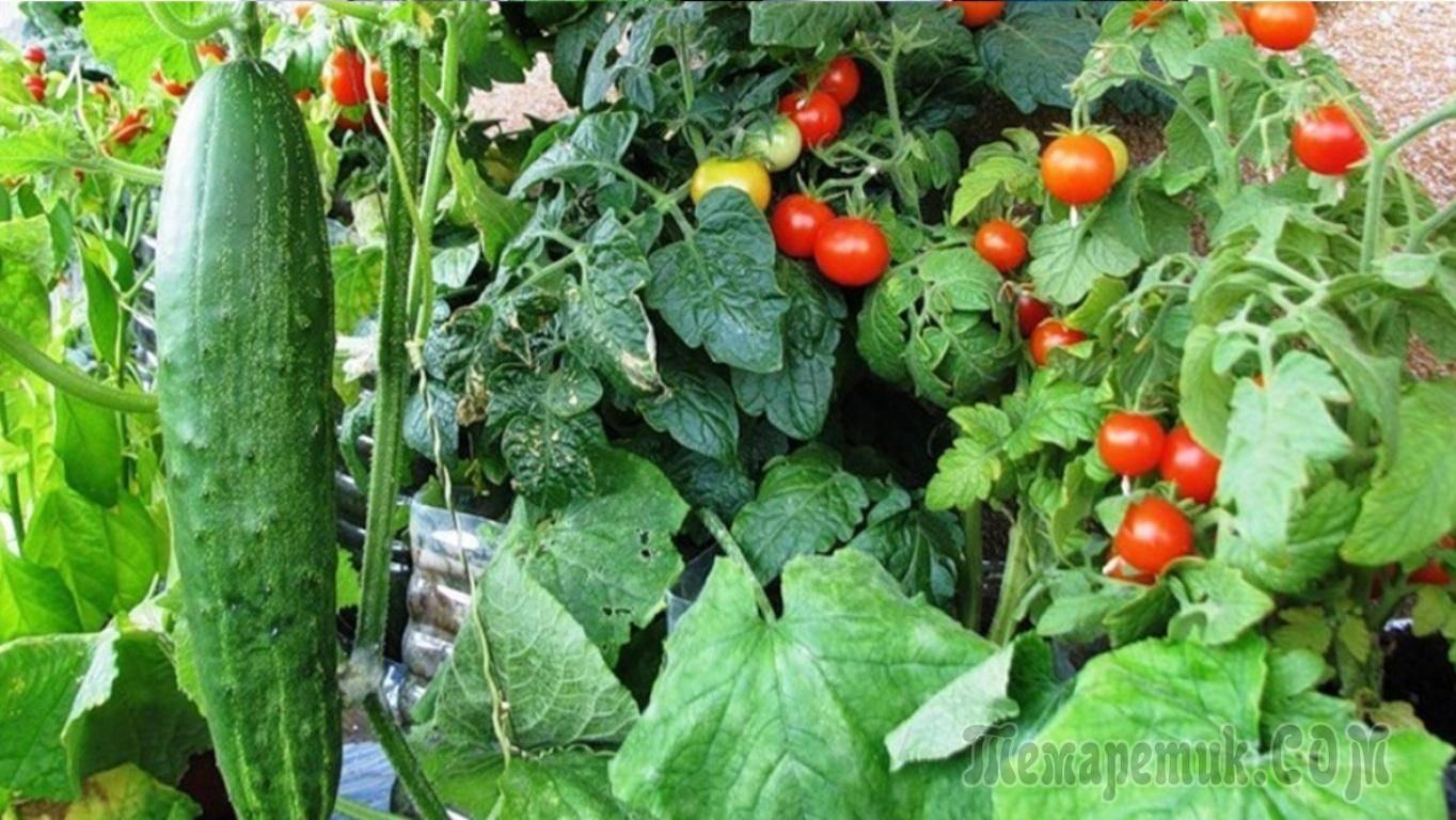 С кем любят соседствовать помидоры: планируем посадки