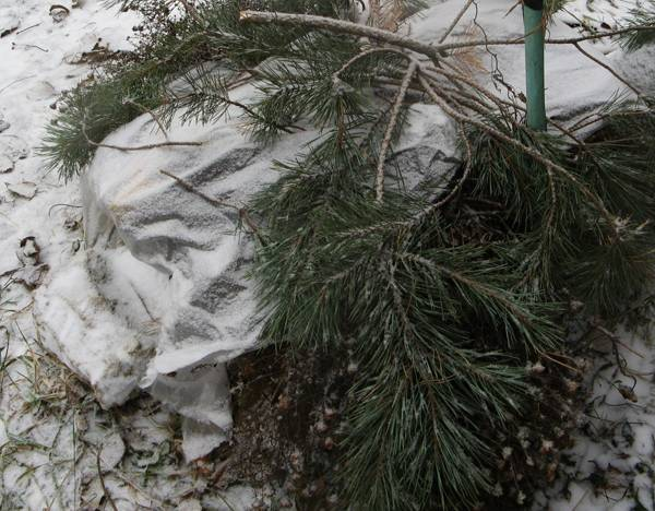 Как укрыть клематис на зиму в подмосковье и других регионах
