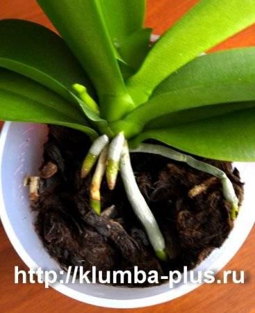 Как поливать орхидею зимой?
