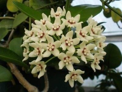Комнатное растений хойя: фото, описание цветка, выращивание в домашних условиях, уход и размножение плюща