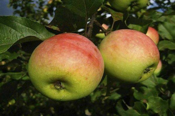 Характеристика сорта яблони синап северный с фото