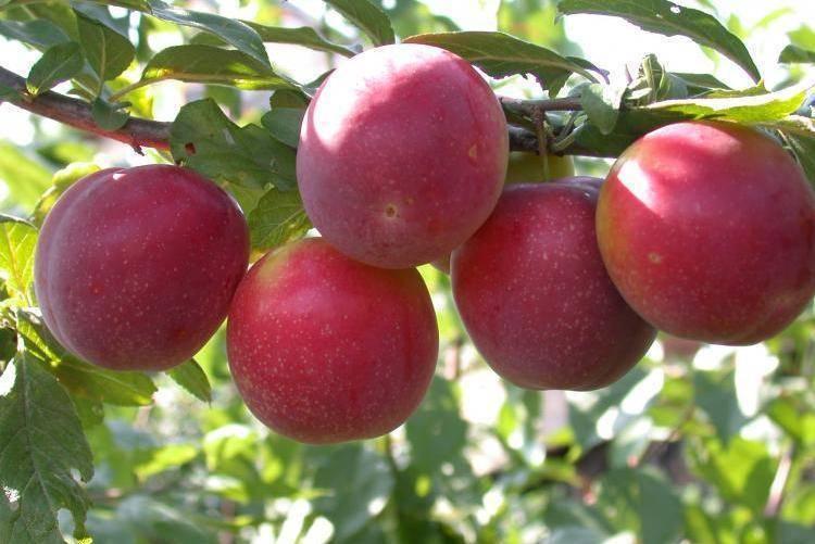 Слива сорта венгерка и другие ароматные разновидности для вашего сада