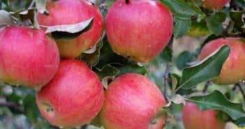 Яблоня розовый налив: описание, фото, отзывы
