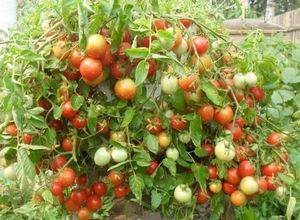Баклажан валентина f1 отзывы огородников, описание сорта, фото